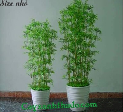 Hedge Bamboo