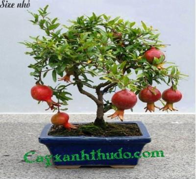 Cây Hoa Lựu